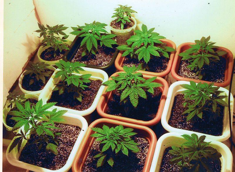 Cannabis Cultivation Facilities Most Expensive In Arizona, Colorado - MARIJUANA POLITICS
