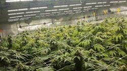 CannabisGrowing