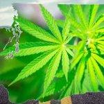 Legal Limits for Marijuana in Washington