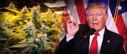 donald-trump-and-marijuana-politics